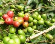 Was ist gruner Kaffee