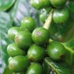 Grüne Kaffee Tabletten