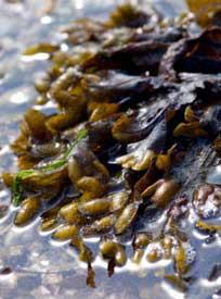 Appesat  - Die Diätpillen mit dem Inhaltsstoff der Meeresalge